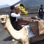 """Weinlesefest auf Lanzarote – Kamele dienen den Winzern bei der """"Fiesta de la Vendimia"""" traditionell als Lasttiere. Bildnachweis: Turismo Lanzarote"""