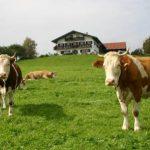 Glückliche Kühe - Zufriedene Bauern