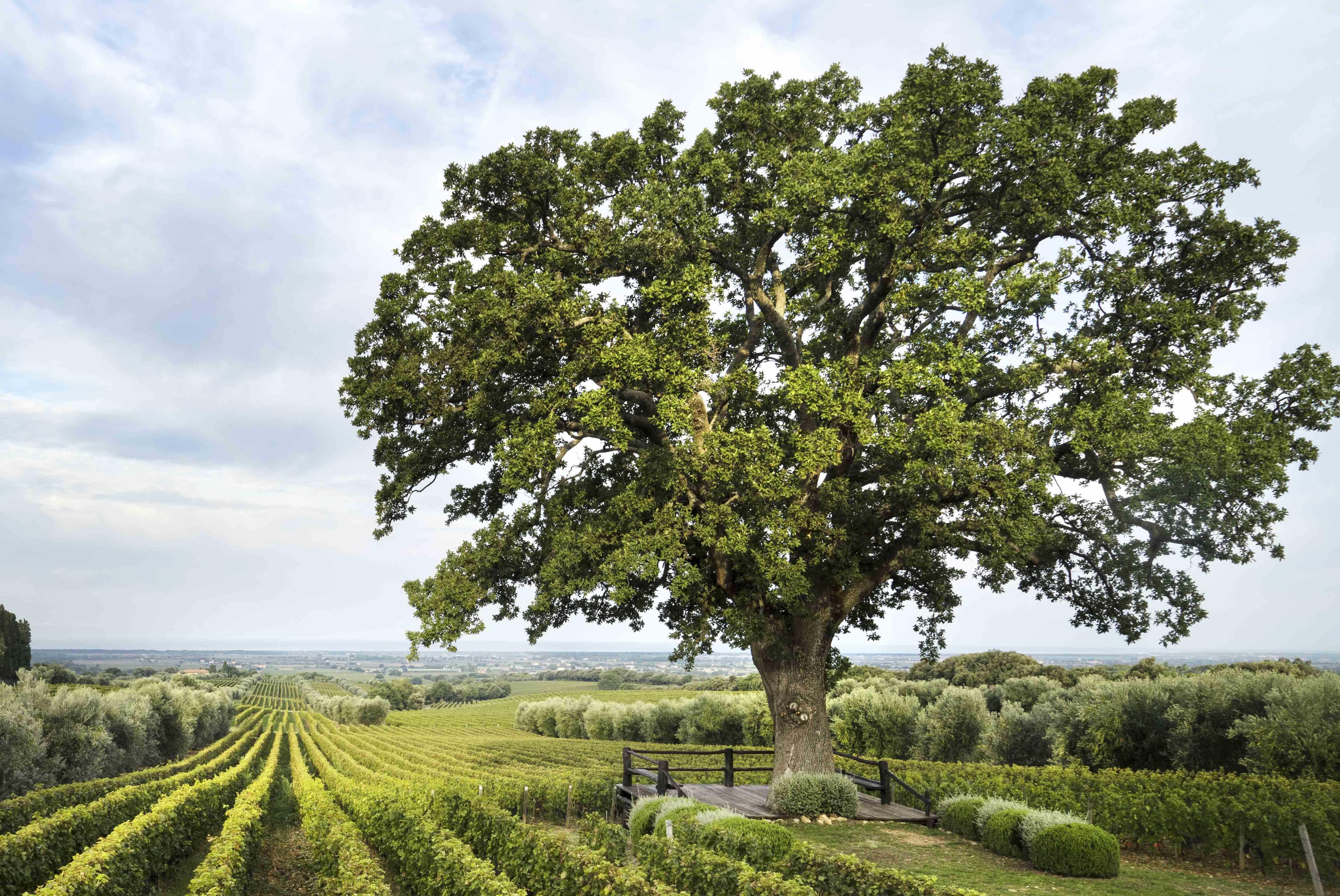 Oak of Bellaria in ORNELLAIA