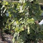 Betriebsleiter Florian Scheidt vom Weingut Albert Kallfelz in Zell-Merl