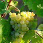 weinlese weißwein