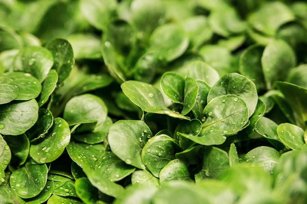 Zeit für einen winterlichen Bodenschatz: Feldsalat
